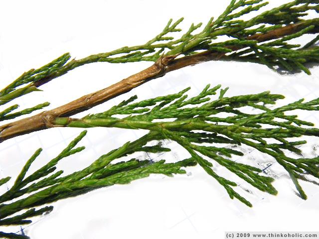 savine juniper ... L Is For Leaf